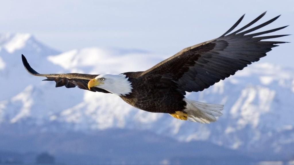 Vuelo de la Libertad, águila calva.
