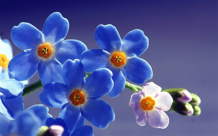 """La pequeña y modesta flor """"no me olvides"""" ."""